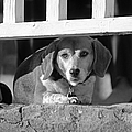 Beware - Guard Beagle On Duty In Black And White by Suzanne Gaff