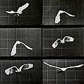 Bird In Flight by Eadwerd Muybridge