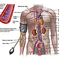 Blood Pressure And Circulatory System by Stocktrek Images