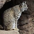 Bobcat by Bob Christopher