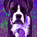 Boxer 20130126v6 by Wingsdomain Art and Photography
