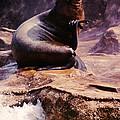 California Sea Lion Raising A Flipper by Anna Lisa Yoder