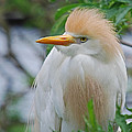 Cattle Egret by Skip Willits