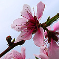 Cherry Blossom by Camille Lopez