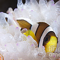 Clarks Anemonefish In White Anemone by Steve Jones