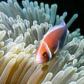 Clownfish 9 by Dawn Eshelman