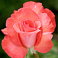 Cobra Rose  by Christine Till