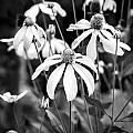 Coneflowers Echinacea Yellow Bw by Rich Franco