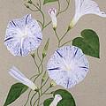 Convolvulus Cneorum by Frances Buckland