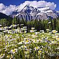 Daisies At Mount Robson by Elena Elisseeva