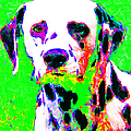 Dalmation Dog 20130125v3 by Wingsdomain Art and Photography