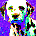Dalmation Dog 20130125v4 by Wingsdomain Art and Photography