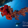 Diver Looks On At A Bright Red Soft by Steve Jones