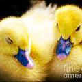 Downy Ducklings by Edward Fielding