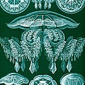 Examples Of Discomedusae by Ernst Haeckel