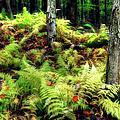 Fall Ferns Of Cannan Valley West Virginia by Dan Carmichael
