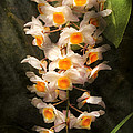 Flower - Orchid - Dendrobium Orchid by Mike Savad