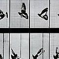 Flying Bird by Eadweard Muybridge