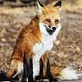 Foxy by Shane Bechler