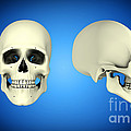 Front View And Side View Of Human Skull by Stocktrek Images