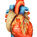 Front View Of Human Heart by Stocktrek Images