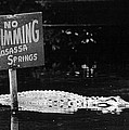 Gator At Homossa Springs by Retro Images Archive