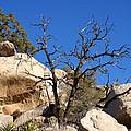 Gnarly Joshua Tree by Barbara Snyder