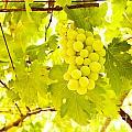 Grape Branch by Anna Om