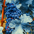 Grapes - Blue  by Hannes Cmarits
