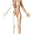 Half Cutaway View Showing Skeleton by Leonello Calvetti
