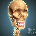 Human Skeleton Showing Teeth And Gums by Stocktrek Images