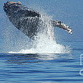 Humpback Whale Breaching by Bob Christopher