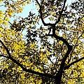 Illuminated Oak Tree by Maria Urso
