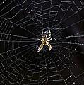 Itsy Bitsy Spider My Ass 2 by Steve Harrington