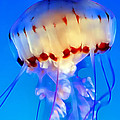 Jellyfish 3 by Dawn Eshelman