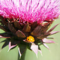 Ladybug And Thistle by Marilyn Hunt