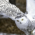 Landing Of The Snowy Owl Where Are You Harry Potter by LeeAnn McLaneGoetz McLaneGoetzStudioLLCcom