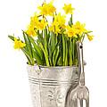 Large Bucket Of Daffodils by Amanda Elwell