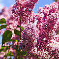 Lilacs by Elena Elisseeva