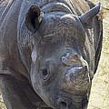 Lurching Rhino by Bill Tiepelman