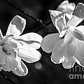 Magnolia Flowers by Elena Elisseeva