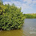 Mangrove Fores by Carol Ailles