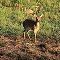 Masai Mara Dikdik Deer by Aidan Moran