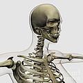 Medical Illustration Of A Womans Skull by Stocktrek Images
