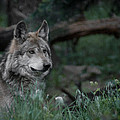 Mexican Grey Wolf by Ernie Echols