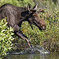 Moose Makes A Splash by Paul W Sharpe Aka Wizard of Wonders