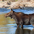 Moose On The  Gros Ventre River by Gary Langley
