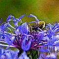 Mountain Cornflower And Bumble Bee by Byron Varvarigos