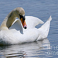 Mute Swan 1 by Sharon Talson