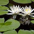 Nature's Snow White Water Lilies by Linda Phelps